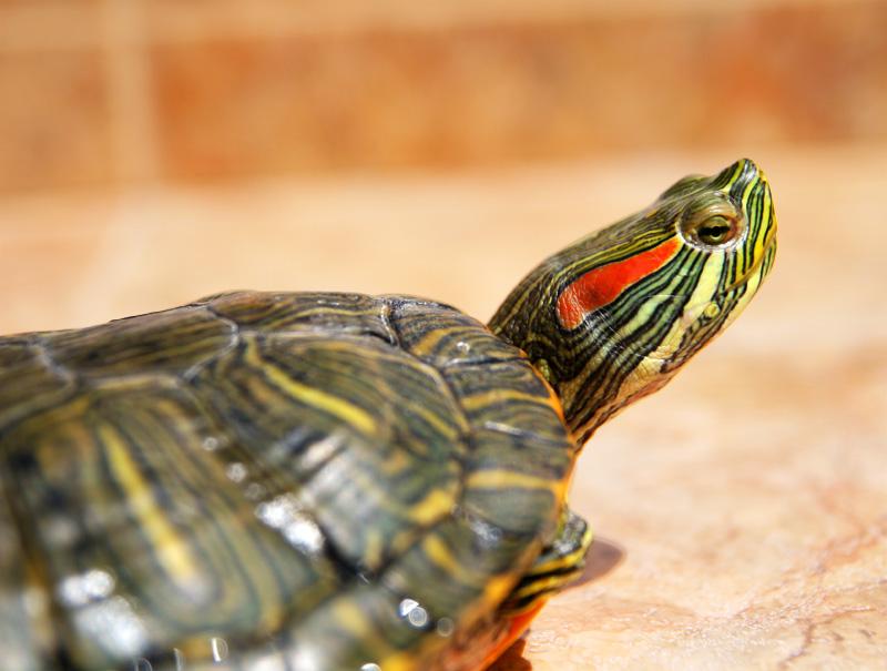 La tortuga de Florida se convirtió en especie invasora tras el abandono de la moda de tenerla por mascota.